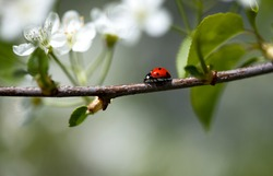Ladybug crawling on Appletree with fresh blossoms in spring