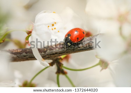 Ladybug crawling on the plum branch. Spring picture.