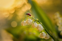 Ladybug crawls on a flower of a lily of the valley on a blurred green background. Ladybug climbed on flowers of lilies of the valley, seeing off the sunset.