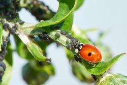 Ladybug Eating Aphids. Insect pest control