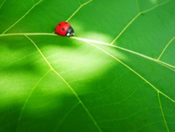 Ladybug insects walking on green leaves. To find a spawn or food source.