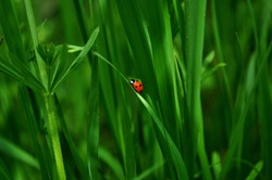 Ladybug is sitting on the grass. Fresh juicy green grass and insect. Sunny spring day. Macro.
