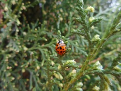Ladybug is the popular name for coleopteran insects in the Coccinellidaee family. They generally have a round and colored body, with many different colors and species that are predators of agricultura