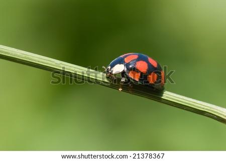 ladybug is walking on grass stem