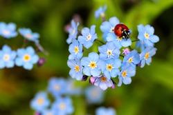 ladybug, ladybird on forget me not flowers