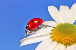 Ladybug leisurely runs on a field flower named Daisy.