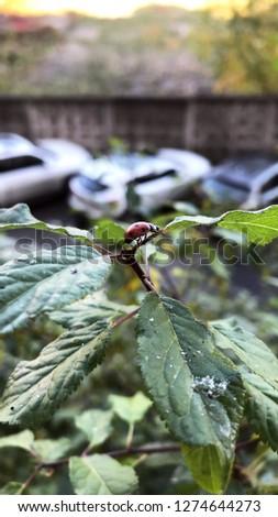 ladybug macro picture