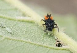 Ladybug nymph eating an aphid garden pest