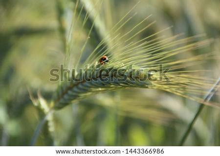 ladybug on a barley. ladybug with barley.