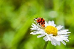 ladybug on a daisy flower closeup