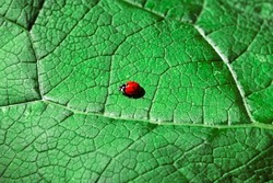 Ladybug on a green leaf . Insect on the green leaf . Ecological nature concept