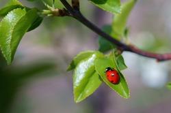Ladybug on a green leaf. Purple background.