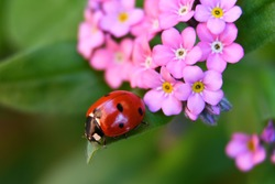 Ladybug on a leaf and forget-me-not flower