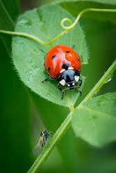 Ladybug on a leaflet. Red bug on the grass. Insects. Background wild nature. Macro