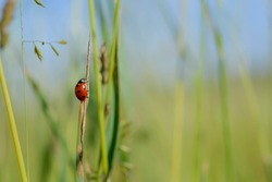 Ladybug on a plant in natural environment, small red bug with black spots on a field, natural background
