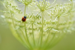 Ladybug on a wild carrot flower close up, macro lady bug, small red beetle with black spots.