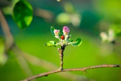 ladybug on an apple tree bud. Insect on a branch of a garden tree. beautiful natural green summer background
