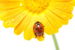 ladybug on an orange flower