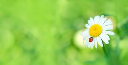ladybug on Daisy flower macro. summer meadow background with chamomile and ladybug. purity freshness nature. copy space