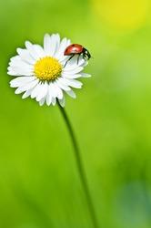 ladybug on flower close up