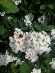Ladybug on flower of blossoming tree. Red Ladybird. Close up