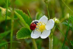 Ladybug on flower wild strawberry