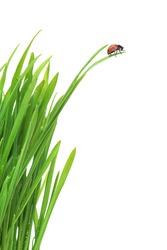 Ladybug on fresh green leaf isolated on white background. Spring background