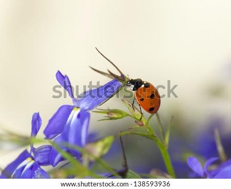 Ladybug on garden lobelia, beautiful summer photo