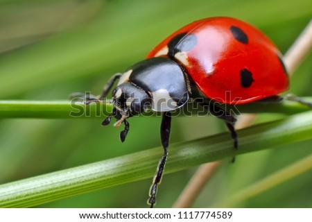 Ladybug on grass.  #1117774589