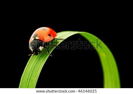 ladybug on grass isolated black