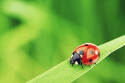 Ladybug on grass macro close up