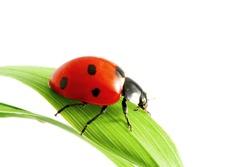 Ladybug on grass macro isolated on white background