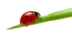 Ladybug on green grass isolated on white background