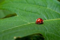 Ladybug on green leaf close up view