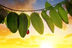 Ladybug on spring leaf of Acacia tree at sunset. Nature background.