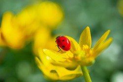 Ladybug on the Blooming yellow crocus flower in the spring forest. First spring flowers close-up. Nature background.