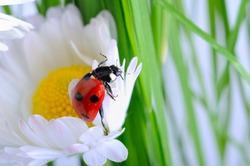 Ladybug on the chamomiles