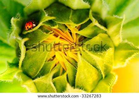 ladybug on the closed sunflower