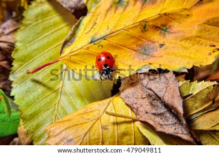Ladybug on the fallen yellow leaves in the fall. Insects in the wild nature. #479049811