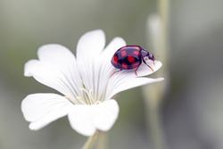Ladybug on the petals of a white flower. Coccinella septempunctata. Gardening.