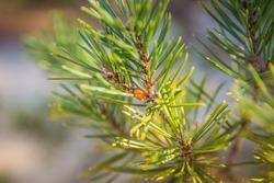 Ladybug on the pine branch. Christmas ladybug on fir-tree branch like Christmas toy