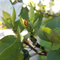 Ladybug on the tree bauhinia forficata