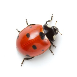 Ladybug on white background