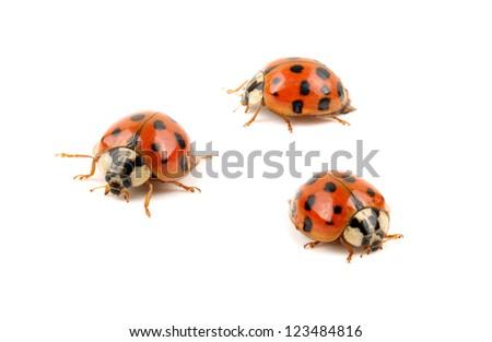 ladybug on white background