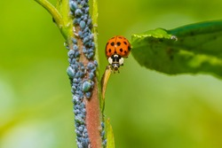 Ladybug or ladybird insect feeding on Aphid. Fresh, vibrant colors and sunlight. Selective soft focus.