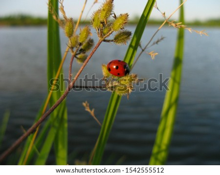 Ladybug or ladybird insect in nature. Nature insect ladybug on grass stem with blurred background. Close up of ladybug on a background of water. Ladybug. Ladybird beetle. #1542555512