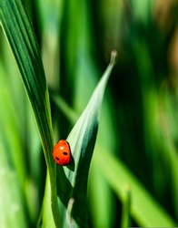ladybug placed on a young green leaf of wheat, where the red color of the ladybug stands out from the green and out of focus background