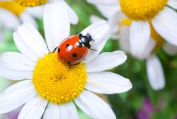 ladybug sits on a flower