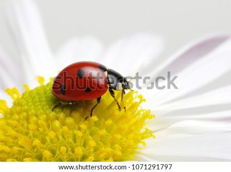 Ladybug sits on a flower #1071291797