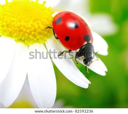 ladybug sits on a flower - stock photo